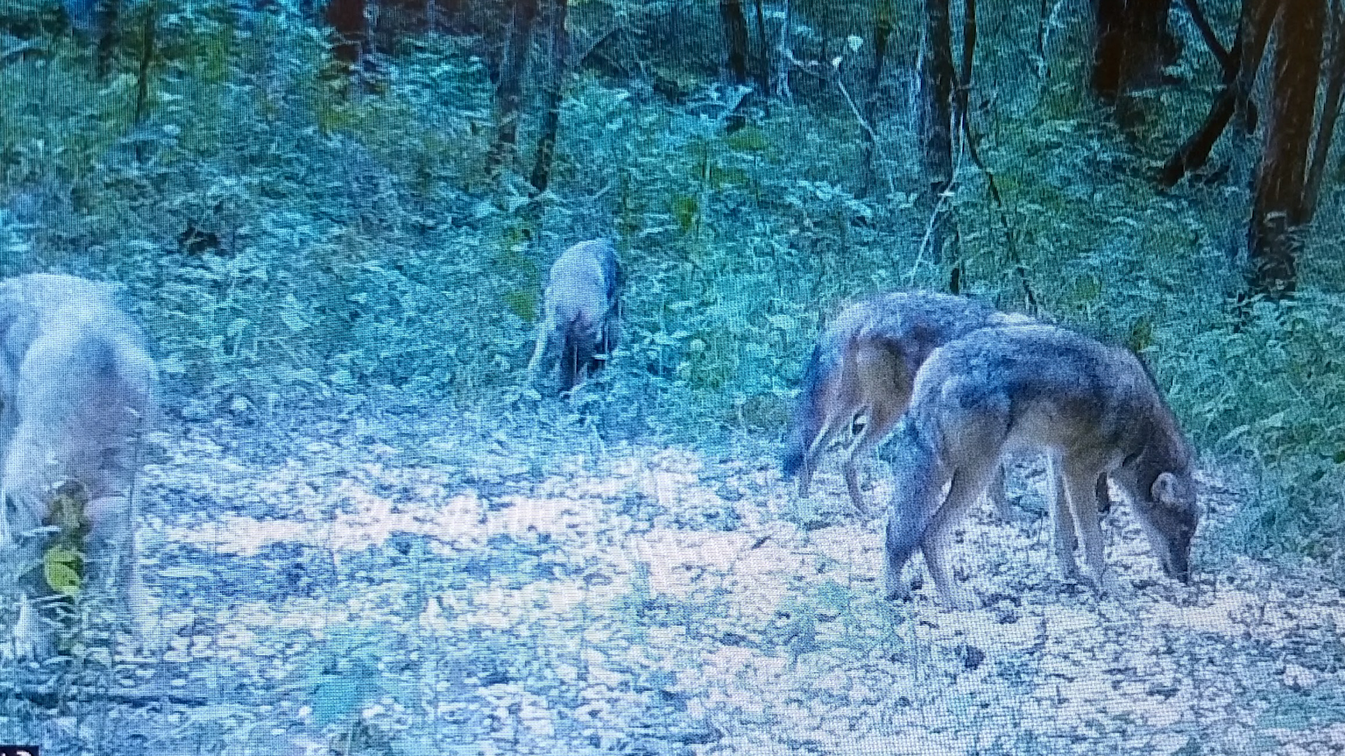 Coyotes in Bowling Green, what to do if you see one - WNKY ...