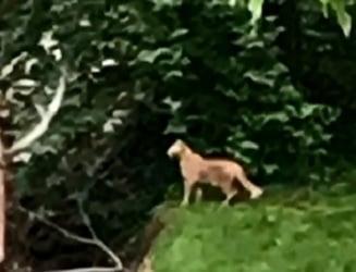 Large feline spotted in Louisville suburbs.