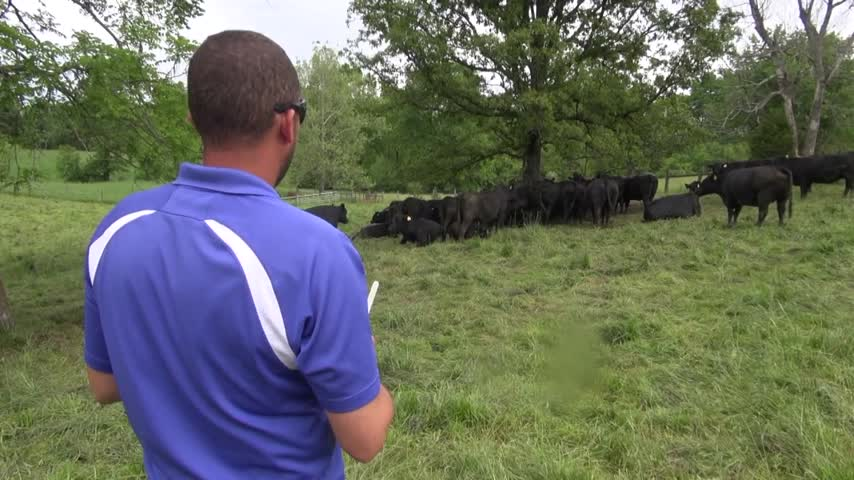 drone cattle