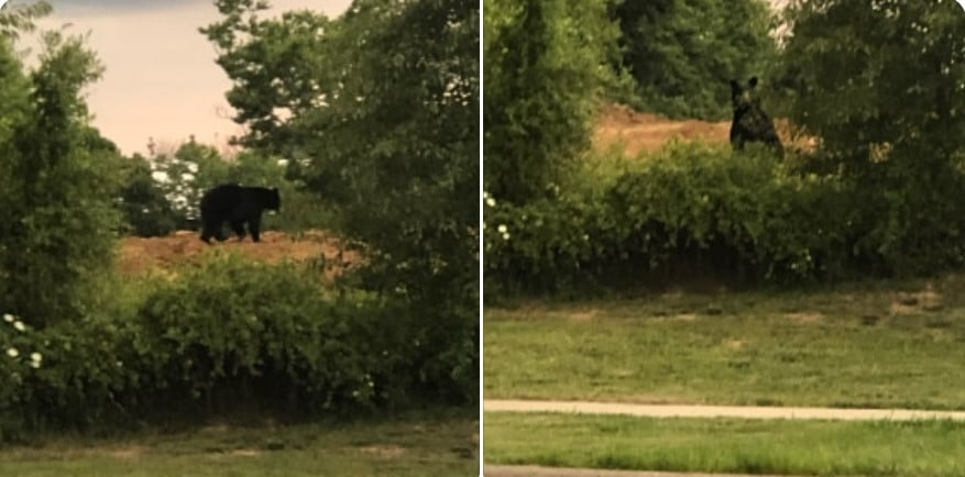 Bear spotted in Richmond