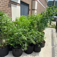 Some 25 marijuana plants seized at a home in the Tomahawk community of Martin County on 8-5-20.  Terrence Mills arrested on site charged with cultivating marijuana more than 5 plants.  Photo courtesy of Martin County Sheriff's Office