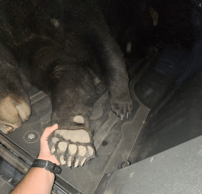 Bear hit and killed (260 pounds) by vehicle in Muldraugh