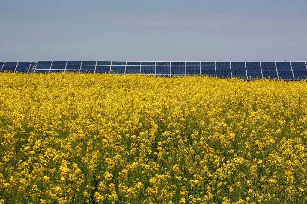 Yellow Rapeseed field in full bloom and solar panels in the background