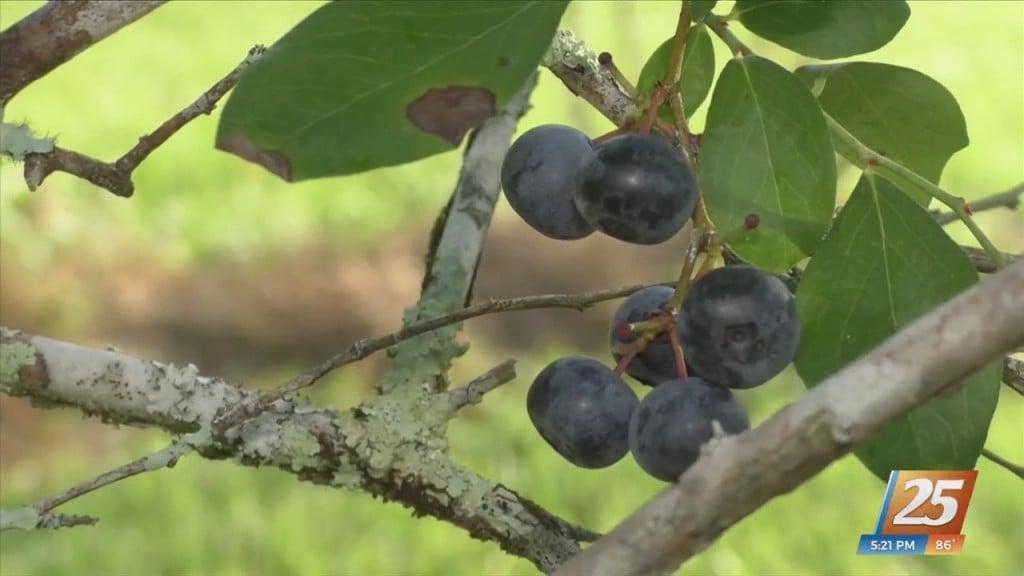 Picking Blueberries At Prissie Branch Nursey In Perkinston