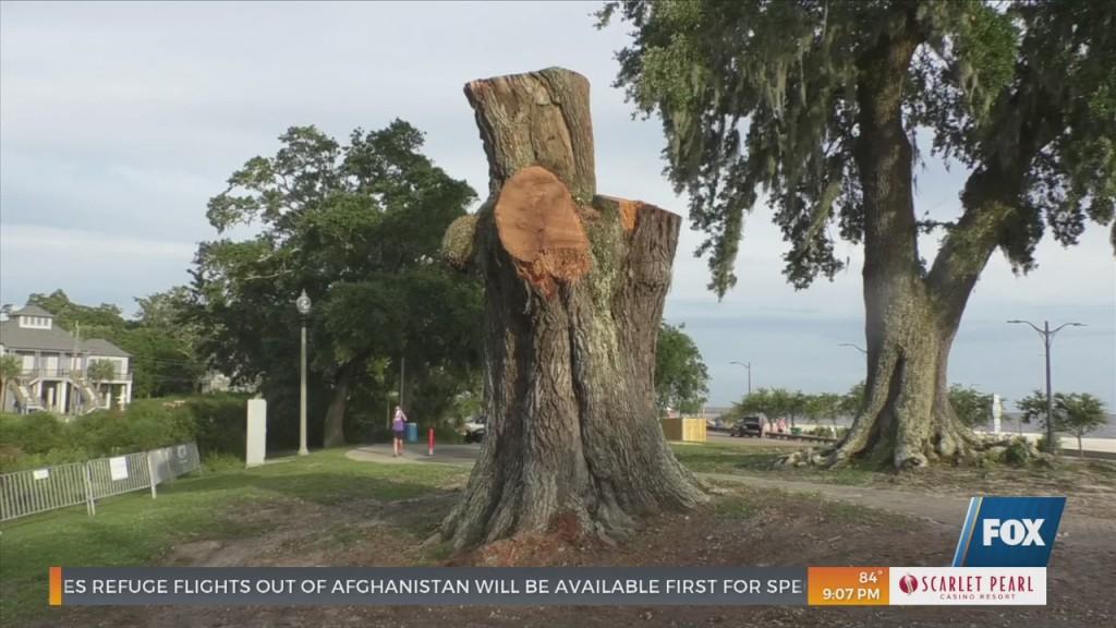 200 Year Old Live Oak Tree Cut Down In Ocean Springs