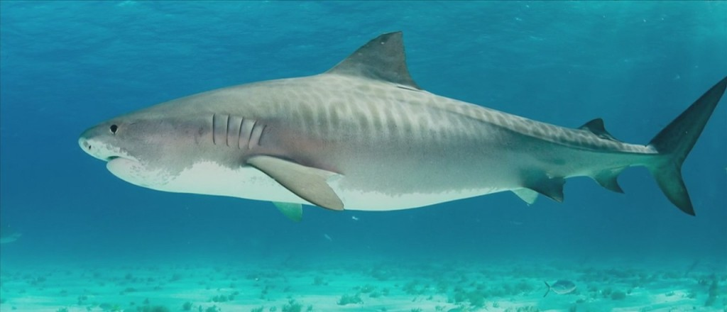 Shark Research Done On The Mississippi Sound