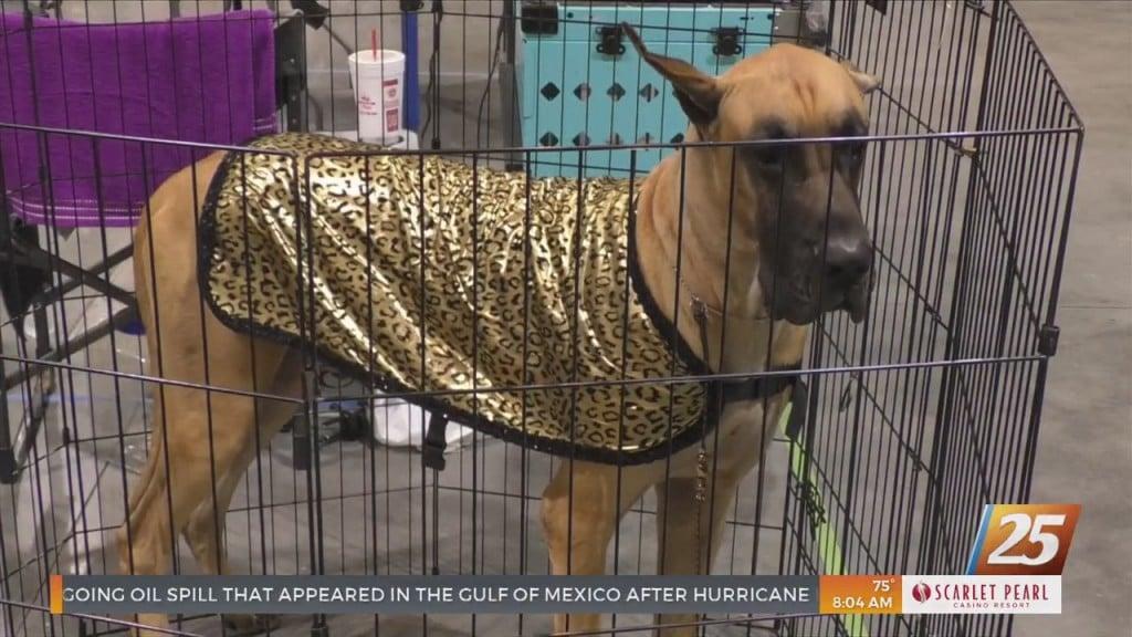 Coast Kennel Club Wraps Up Their Annual Mississippi Gulf Coast Beach Classic Dog Show