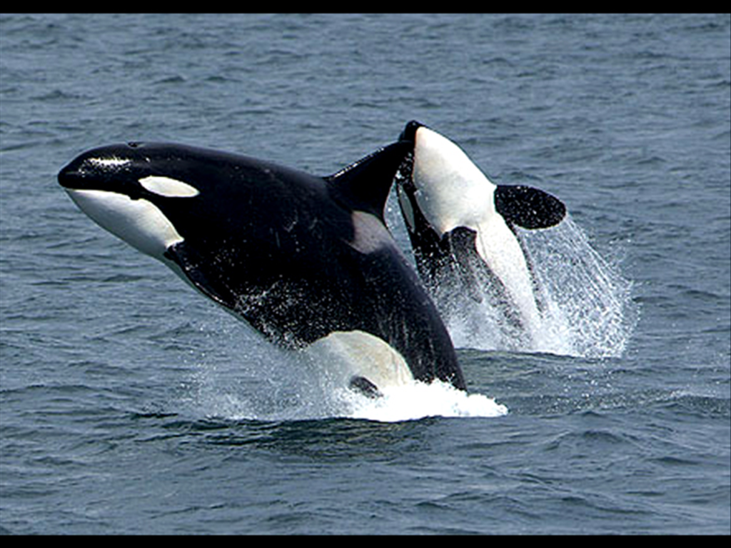 Marine life expert speaking on orca behavior at Kennewick library