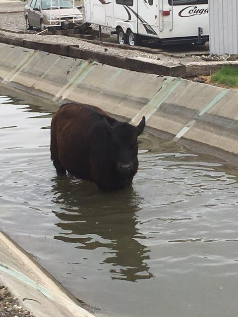 Cow stuck in canal ditch