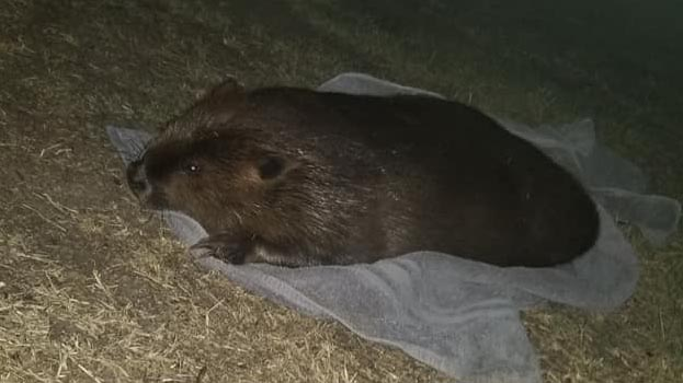 Man undergoes mental health evaluation for sexual assault of beaver