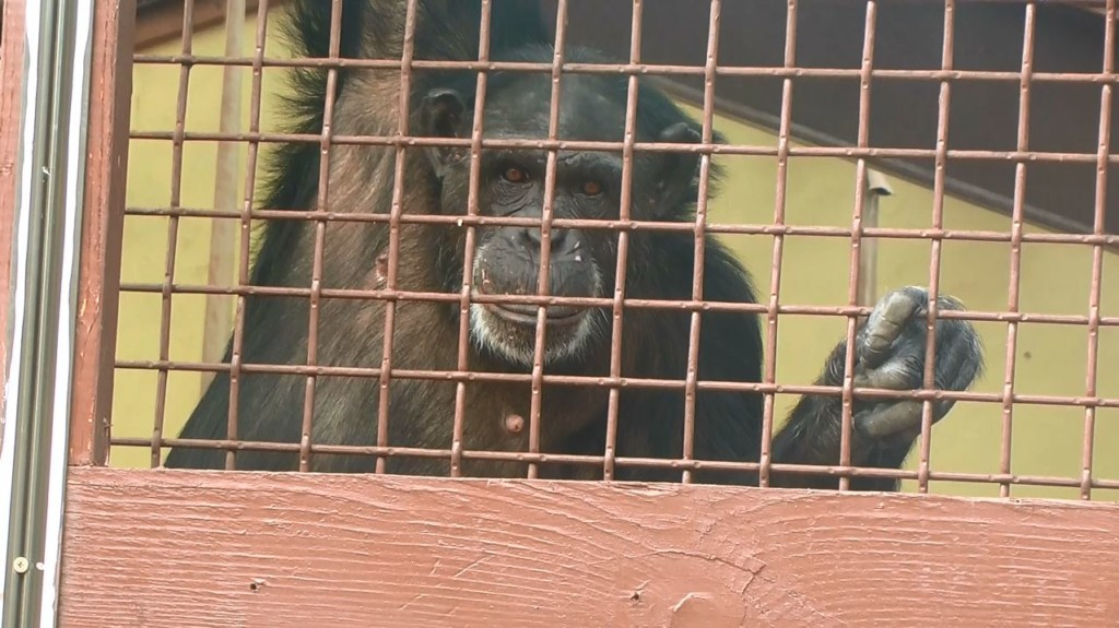 Demolished CWU building to help chimps in Pacific Northwest