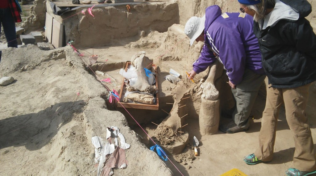 Volunteers work to unearth skeleton of Columbian Mammoth