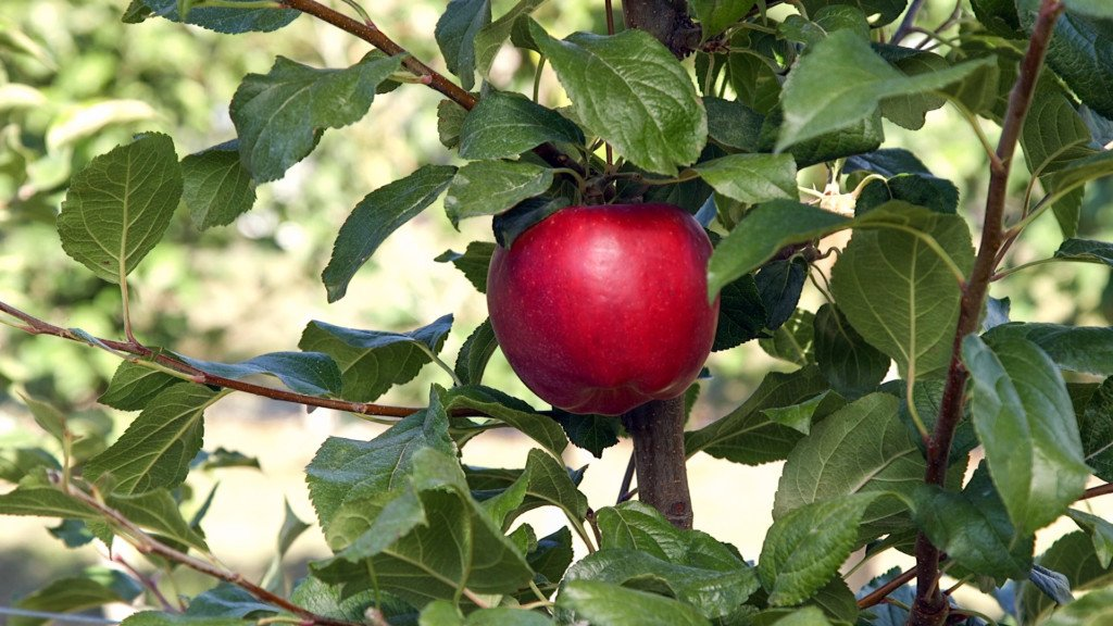 First Washington-bred apple hits stores on Sunday
