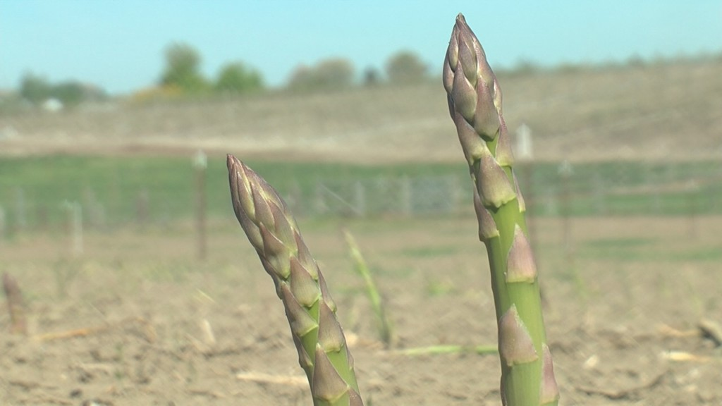 Growers trying to keep pace with asparagus harvest
