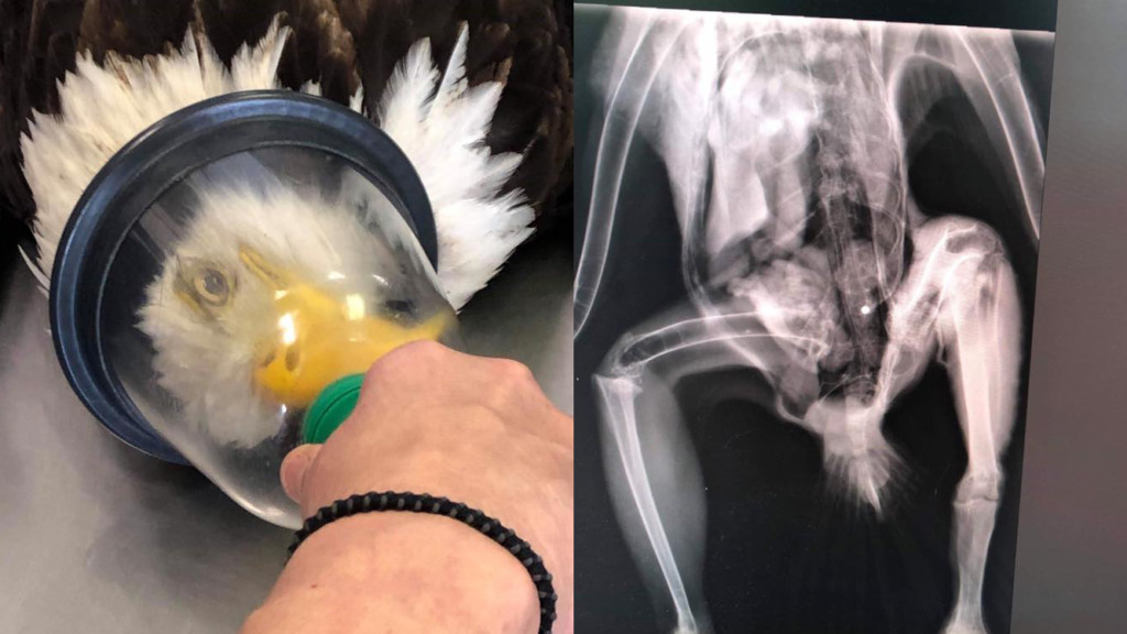 Eagle shot in Moses Lake fighting to stay alive