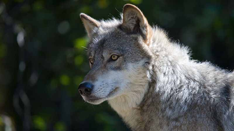 McMorris Rodgers backs bill to delist gray wolf from Endangered Species Act