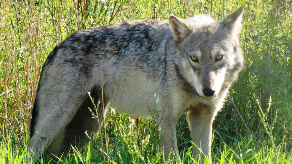 All members of wolf pack killed in Washington state