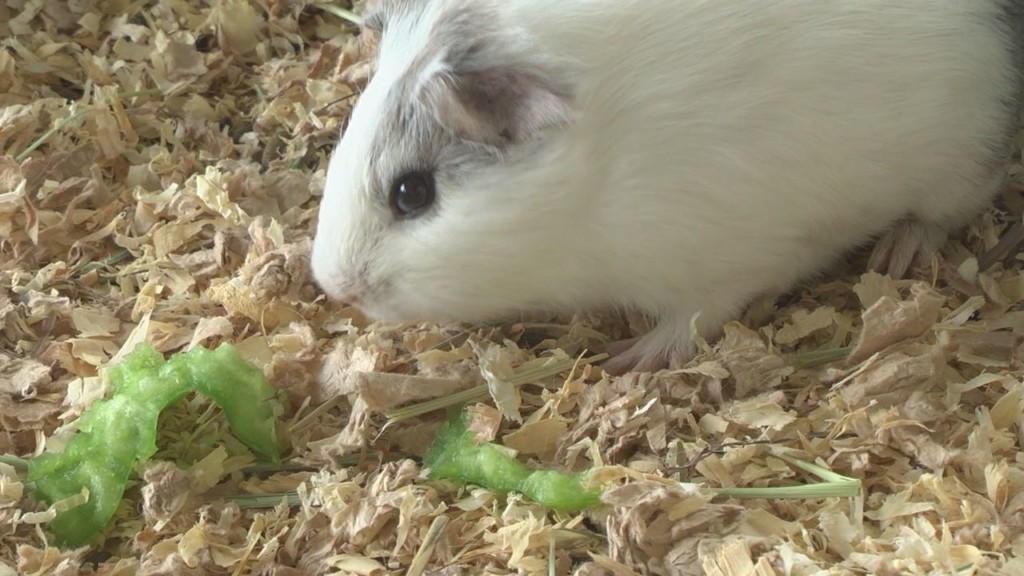 Humane society still hoping to get guinea pigs adopted