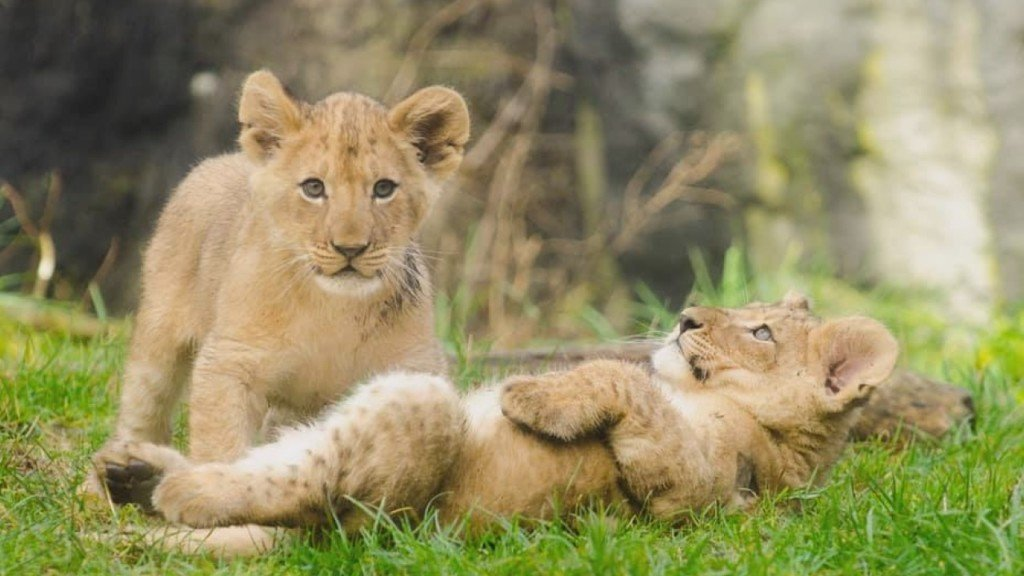 Lion cub sisters moved from Idaho Falls to Seattle's Woodland Park Zoo