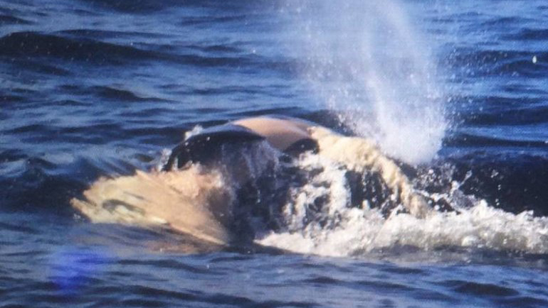 Orca mother's dead calf starts to come apart on 17th day of 'tour of grief'