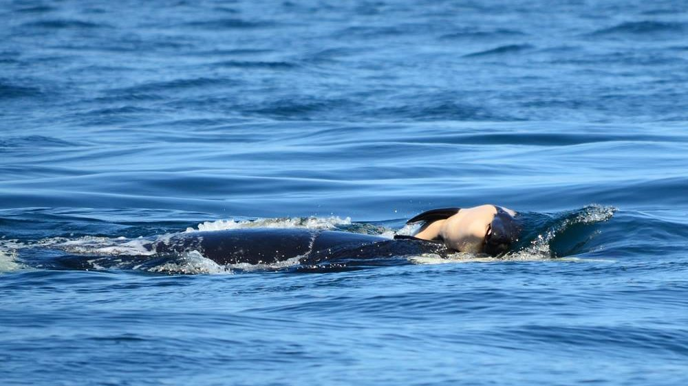 Grieving orca carries her dead calf for sixth straight day