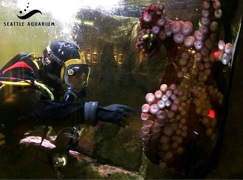 Seattle Aquarium cancels octopus mating session over cannibalism fears