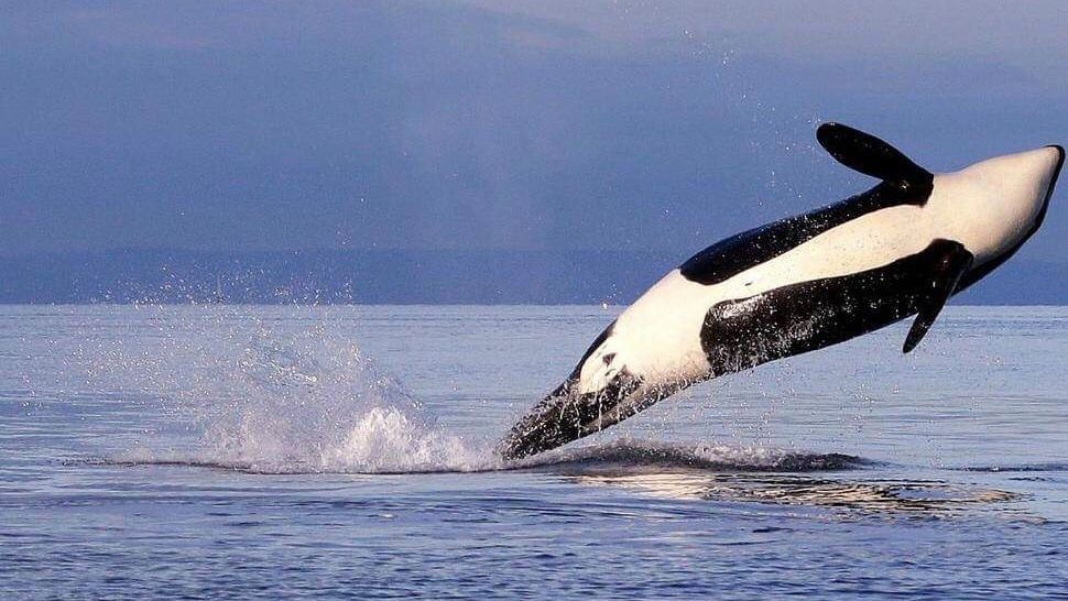 Groups sue to restrict salmon fishing to help northwest Orcas