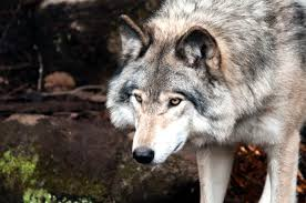 Trapper who shot Oregon wolf sentenced to probation, fined