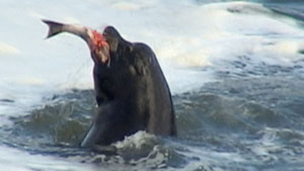 Salmon-eating sea lions targeted at Columbia River dam