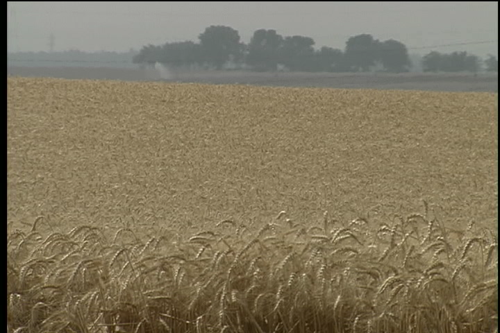 Hot Weather Takes Toll on Wheat Crop