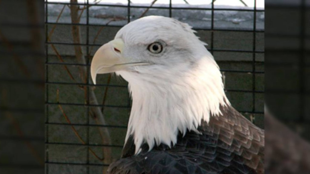 Bald eagle, unable to fly after being shot, victim of birdnapping