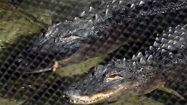 Pet alligators found in vacant Pittsburgh home