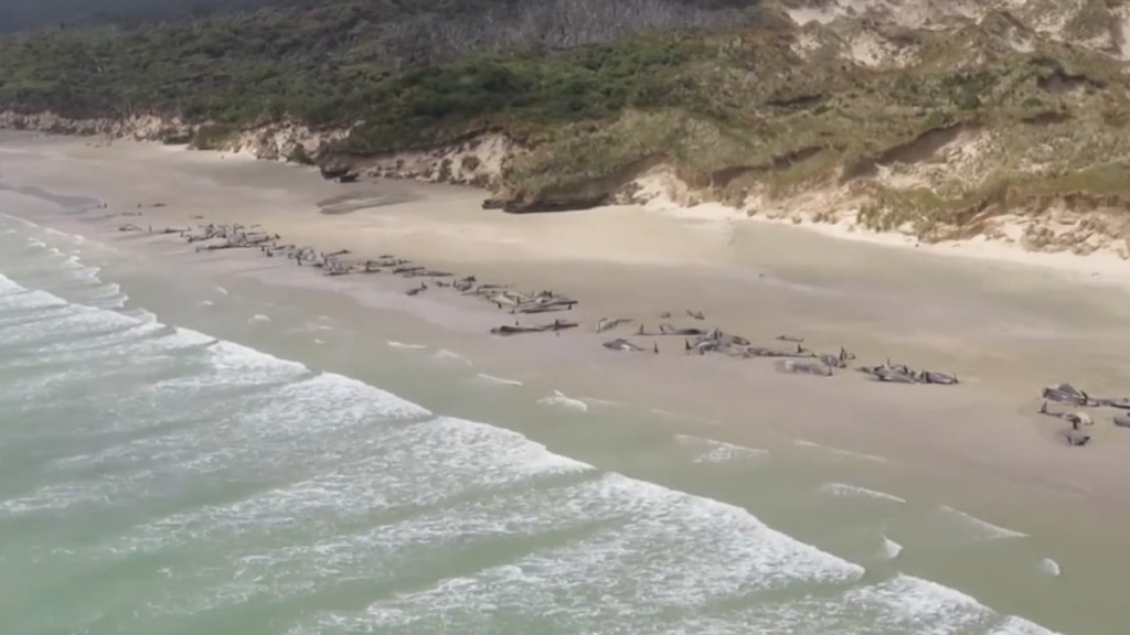 Woman details heartbreaking attempt to save 145 beached pilot whales