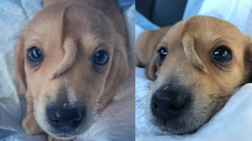 Pet rescue finds puppy with tail growing out of its head
