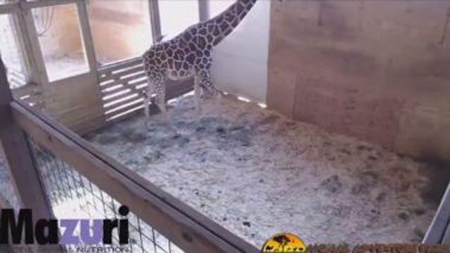 World watches as April the giraffe set to give birth