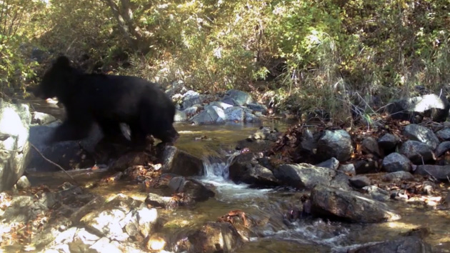 Rare black bear spotted in demilitarized zone between North and South Korea
