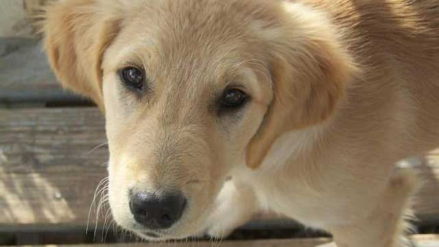Runaway puppy rings doorbell to get back inside