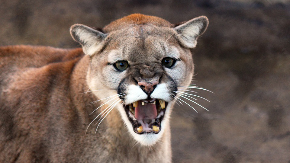 Cougar young and Cougar