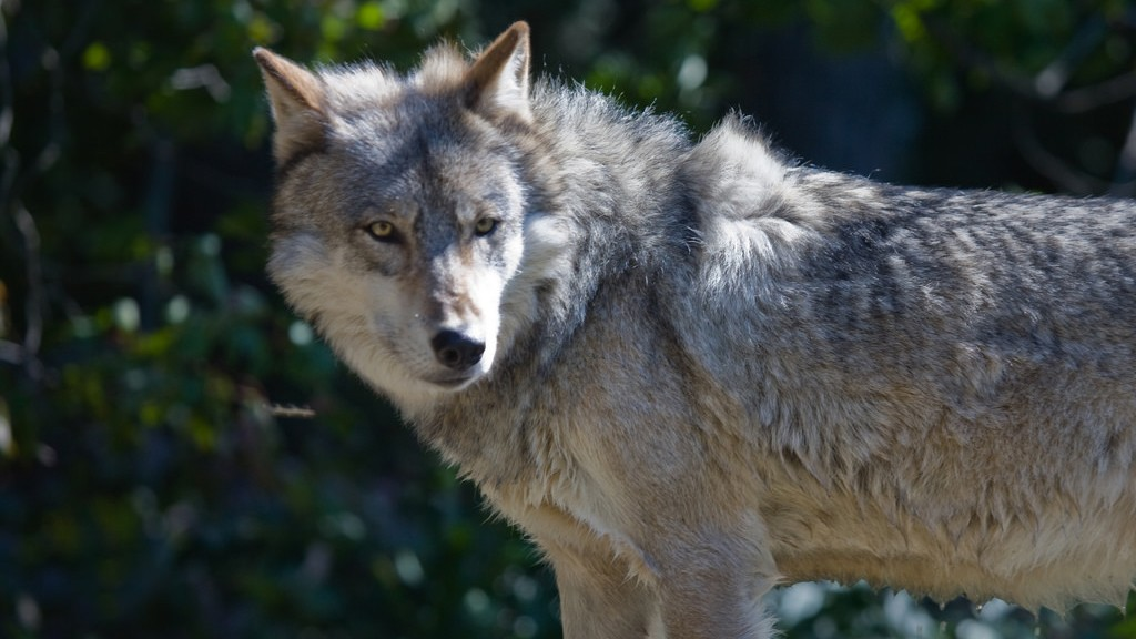 WA state official supports delisting wolves in all Washington