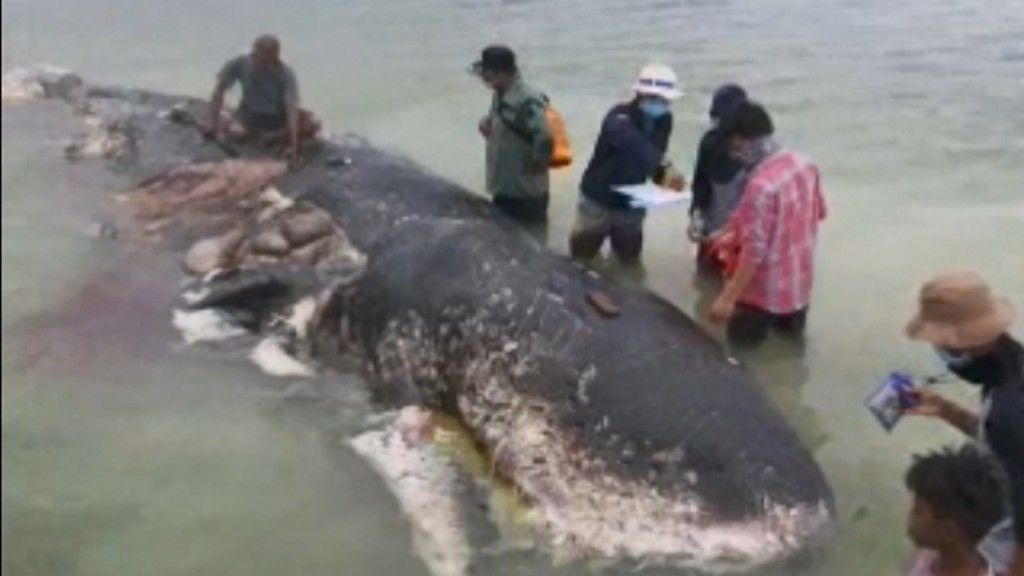 Dead whale had 13 lbs. of plastic waste in stomach