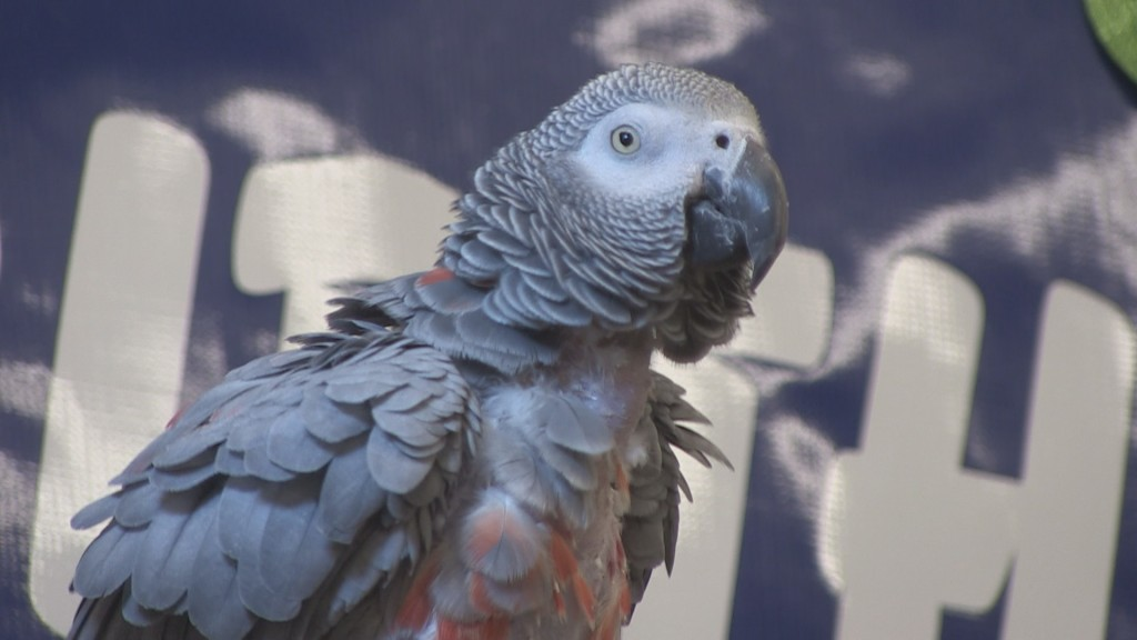 Buddy the Parrot turns 30 today in Ellensburg