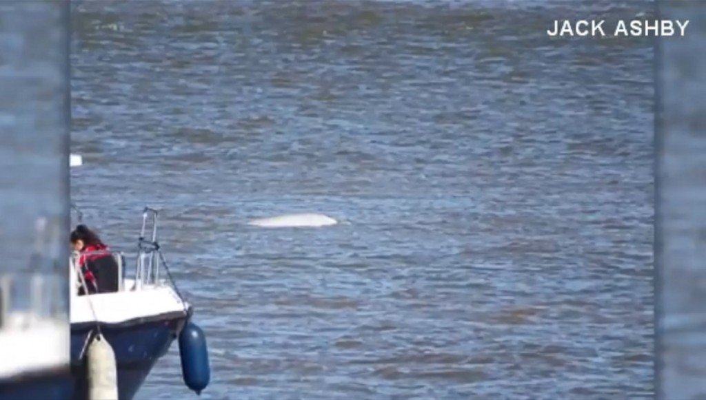 Beluga whale spotted in London's River Thames