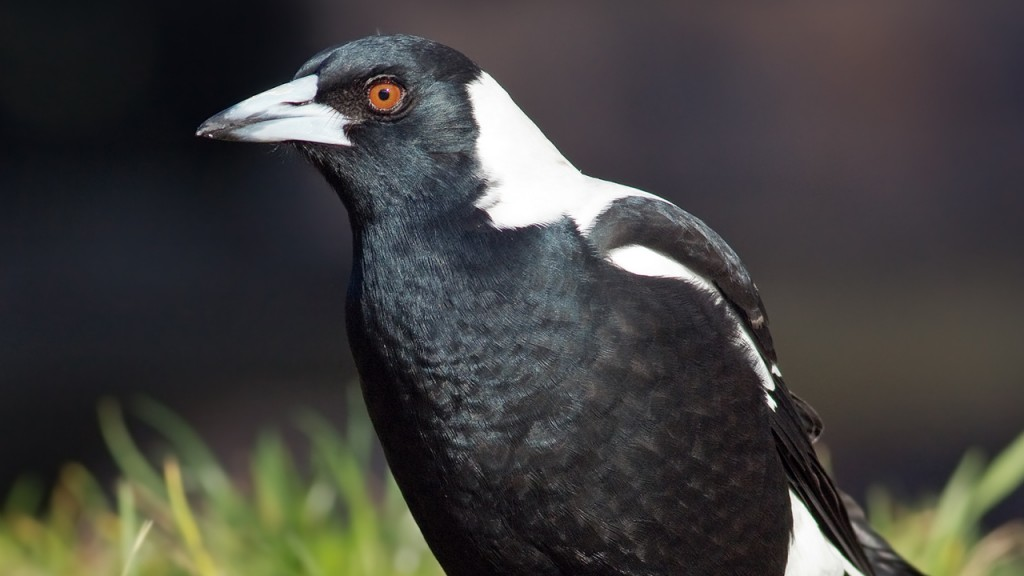 Australian man dies after magpie attack