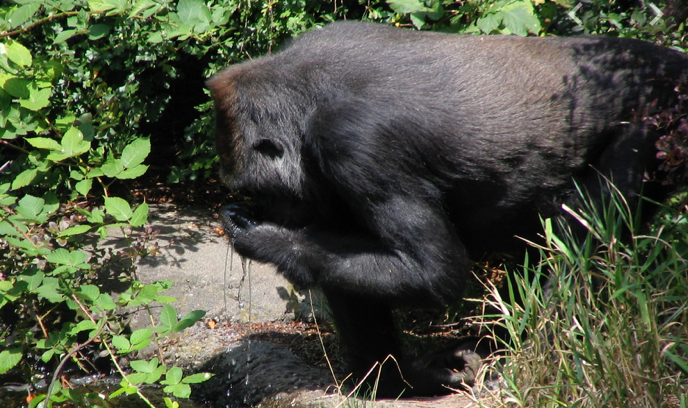 Baby gorilla injured in family skirmish at the Seattle Zoo