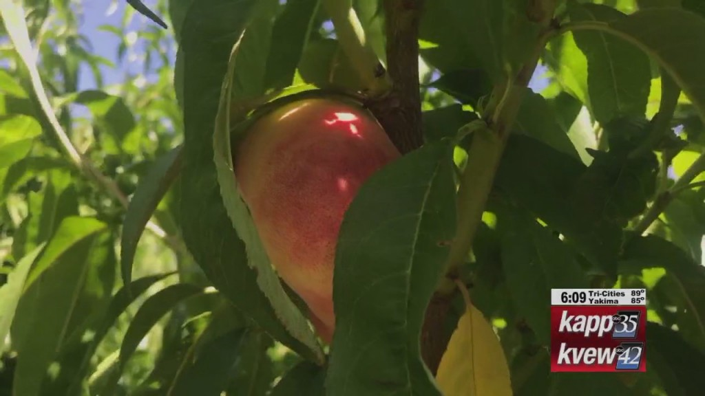 Peaches Ready For Picking At Richland Orchard