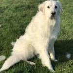 Barbara Cohen Wodehouse This Is Luna The Great Pyrenees, Our Sweet Guardian.