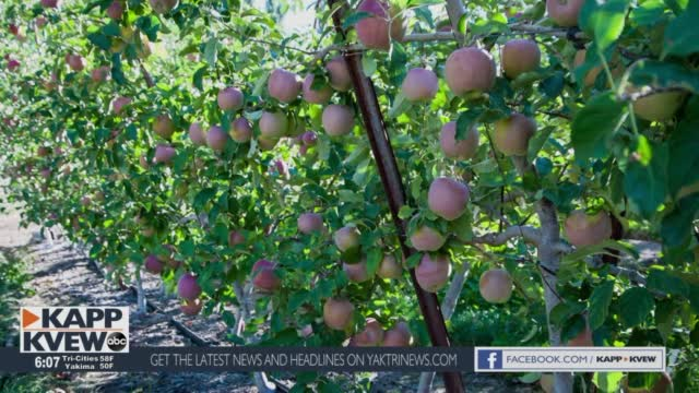 Why Washington's Apple Harvest Will Be Less Than Expected This Year
