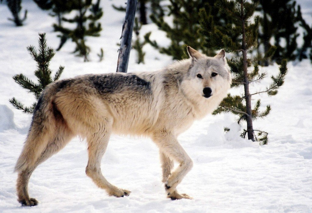 Gray Wolf walking through the snow
