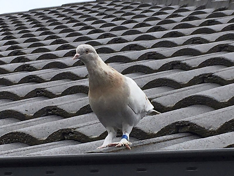 A racing pigeon sits on a rooftop Tuesday, Jan. 12, 2021, in Melbourne, Australia, The racing pigeon, first spotted in late Dec. 2020, appears to have made an extraordinary 13,000-kilometer (8,000-mile) Pacific Ocean crossing from the United States to Australia. Experts suspect the pigeon named Joe, after the U.S. president-elect, hitched a ride on a cargo ship to cross the Pacific. (Kevin Celli-Bird via AP)