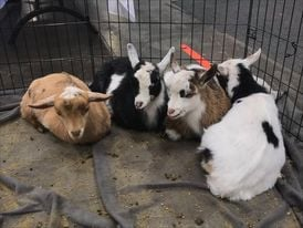 Baby goats for the Send A Goat campaign with Wishing Star Foundation